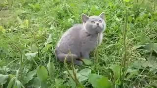 Британская кошка Manyasha TinArden*RU