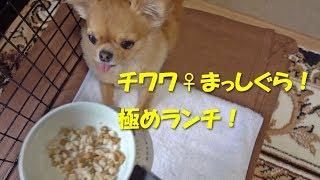 いつも、まっしぐらに食べてくれます! チワワのメスで体重は2.3kgの極...