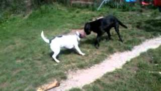 Boxador And Staffy X Pointer  Playing