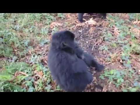 Touching Encounter With A Wild Mountain Gorilla Juvenile In Uganda