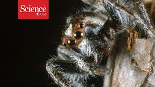 Even without ears, jumping spiders can hear you