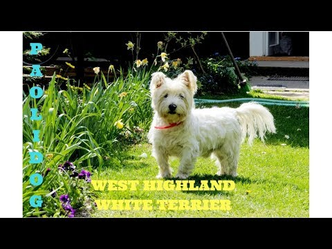 WEST HIGHLAND WHITE TERRIER  (Top 10 interesting facts)