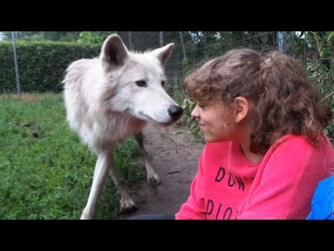 Close Meeting with Wild Polar Wolves in the Netherlands - Park Oikos