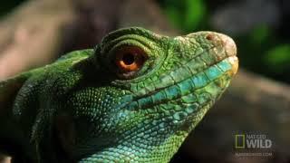Самые опасные животные: Ящерица Василиск