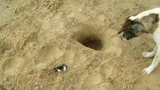 Остров Ко Мак, ловля краба(В этот раз крабов было мало, но Леша все же одного откопал. Помогала собака по кличке