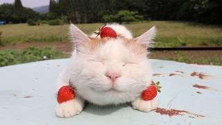 3つのいちごを乗せたしろ Cat and strawberry  2018 thumbnail