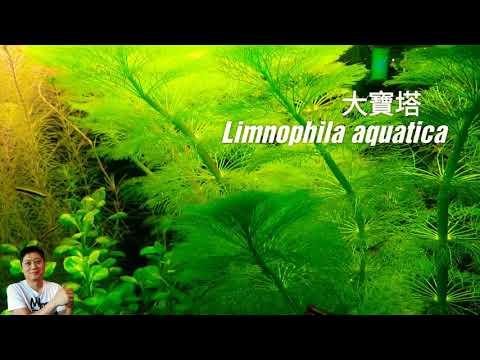 大寶塔-種植與繁殖-荷蘭式水草造景常見草種-經典水草-limnophila-aquatica-aquatic-plant-in-dutch-aquascape-aquarium
