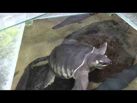 Hand feeding my fly river turtle