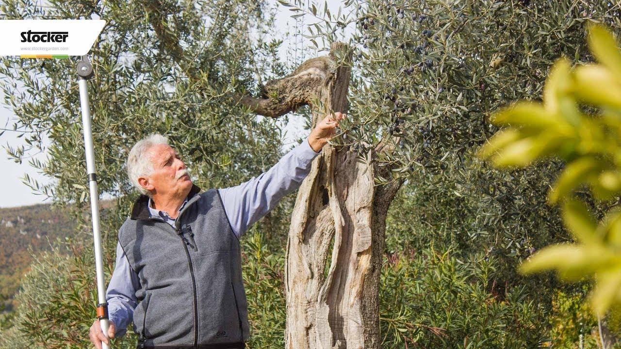 Come Potare A Palla olivo: potatura ornamentale - potatura dell'olivo - 7° parte