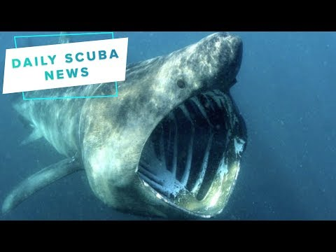 Daily Scuba News - Basking Sharks Are Just Cool