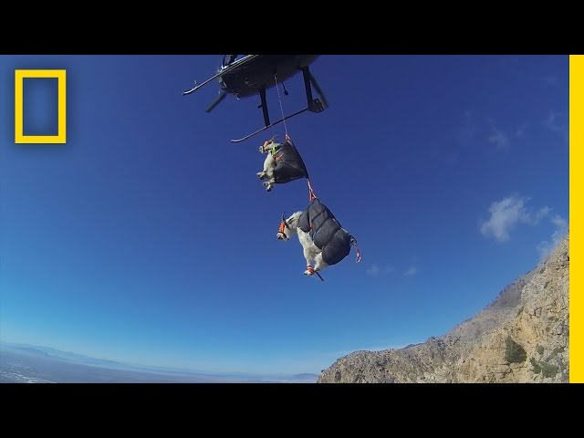 The Best Way to Move Mountain Goats? Helicopters. | National Geographic