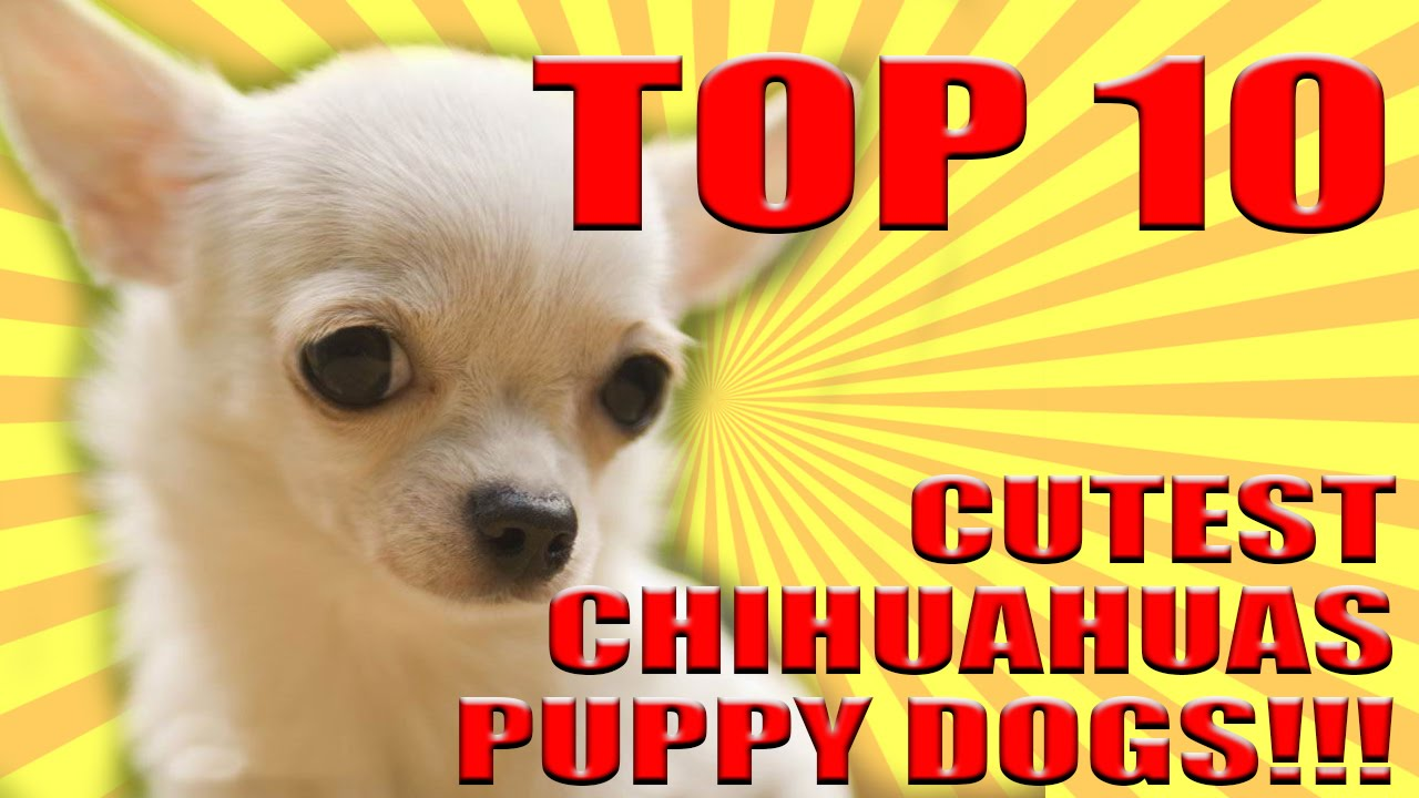 TOP 10 CUTEST DOGS PUPPY CHIHUAHUAS IN THE WORLD!!! 2017 ...