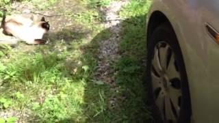 Черные шоколадные котята от кошки Сноу Шу