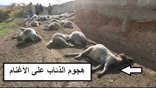 هجوم قطيع من الذئاب على الاغنام والابقار | Wolves attack on animals