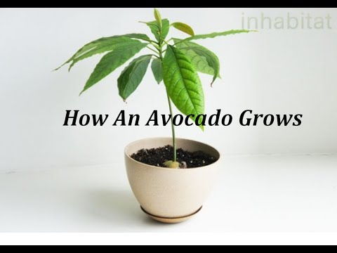 How An Avocado Seed Grows
