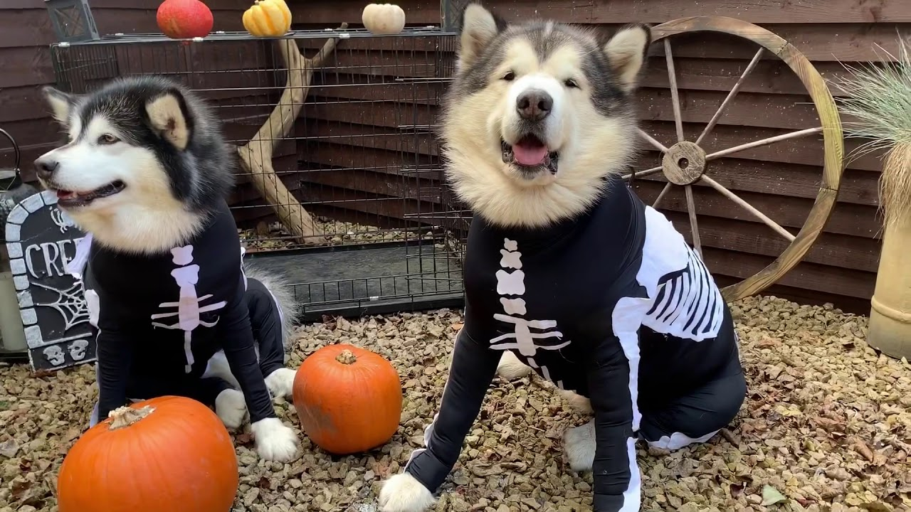 Buy Halloween Happy dog pictures picture trends