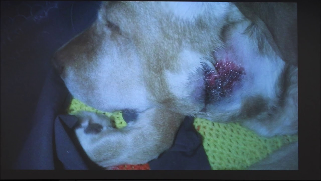 Canine Salivary Gland Cancer 2018 Youtube