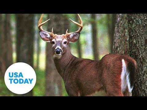 Deer Kills Arkansas Hunter Who Shot At Him | USA TODAY
