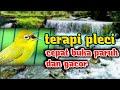 Terapi Pleci Mempercepat Pleci Buka Paruh Pleci Gacor Dan Pleci Ngalas  Mp3 - Mp4 Download
