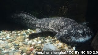 Chinese Officials Allegedly Eat Endangered Animal At Banquet