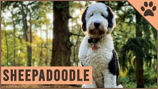 Sheepadoodle  Mix of Poodle and Old English Sheepdog