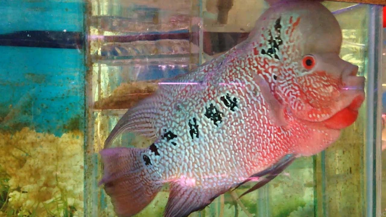 All Kinds Of Beautiful Fish Shop - ហាងលក់ត្រីគ្រប់ប្រភេទនៅបាត់ដំបង