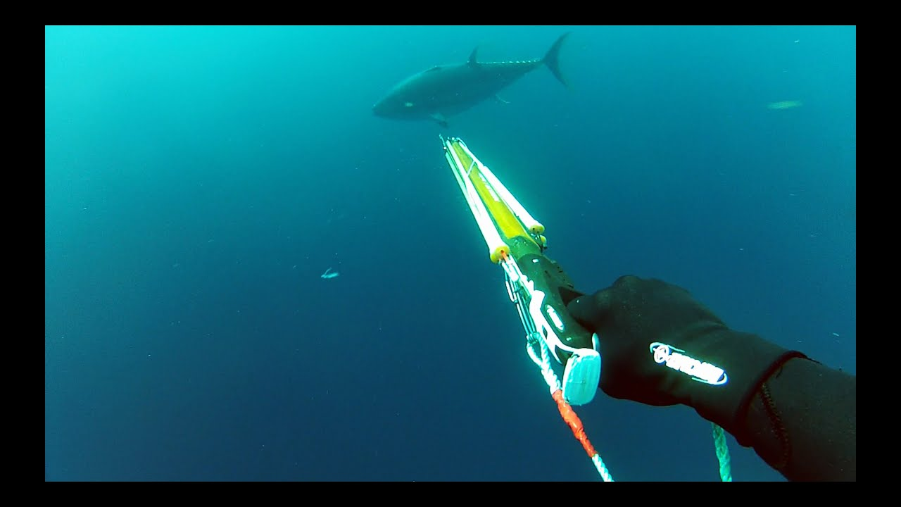 Spearfishing and Gamefishing Giant Bluefin Tuna