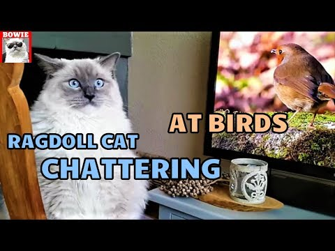 Chattering and Chirping Ragdoll Cat | Watching Birds in the Backyard and on Television