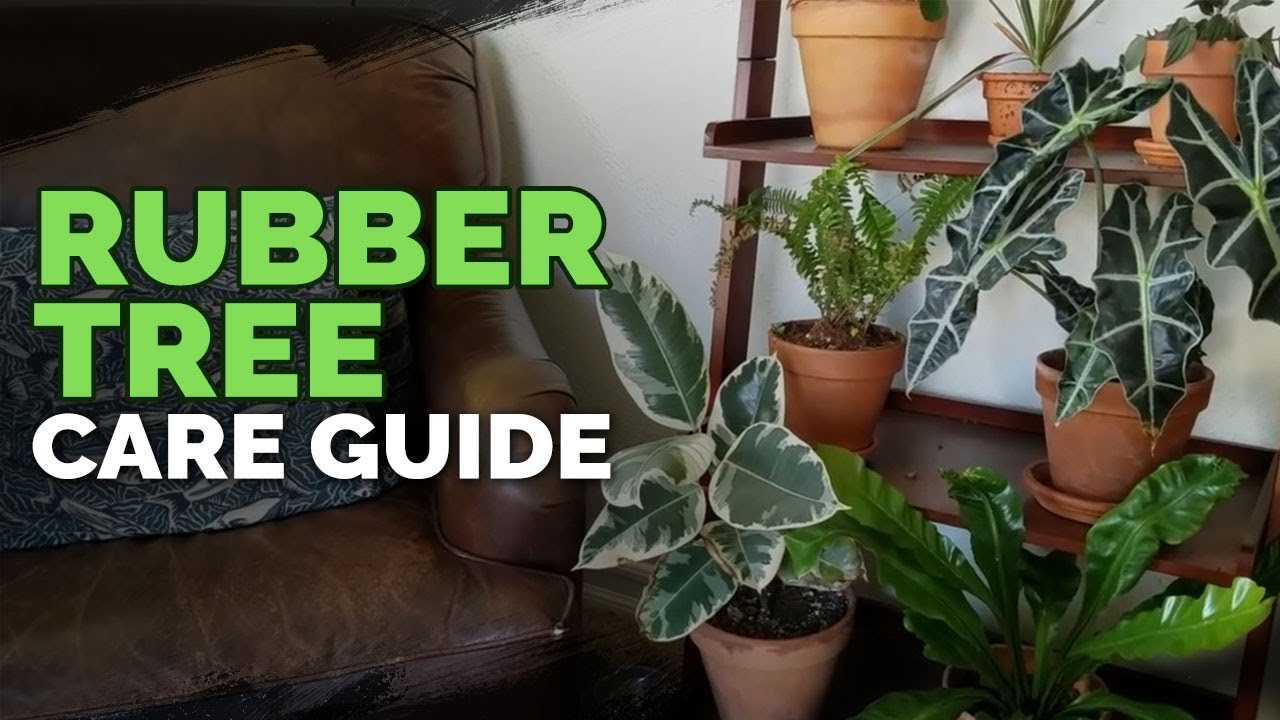 How To Care For The Rubber Tree Plant Ficus Elastica Youtube