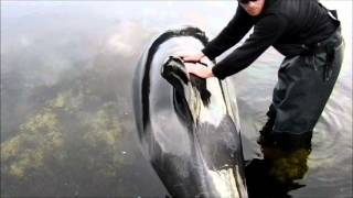 killer whale stuck
