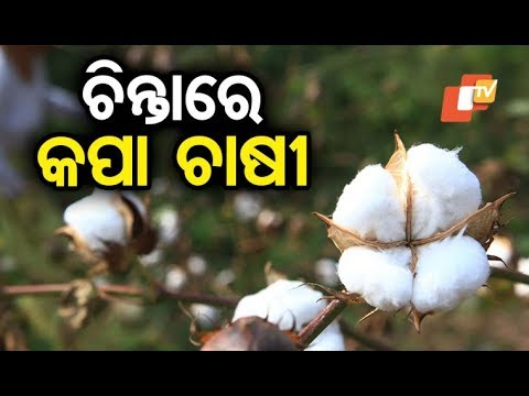 Cotton farmers allege crop loss in Kalahandi