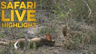 David VS Goliath: Mongoose makes off with Black Mamba's meal! thumbnail