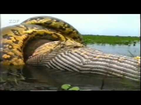 anaconda - Yahoo! Video Search.mp4