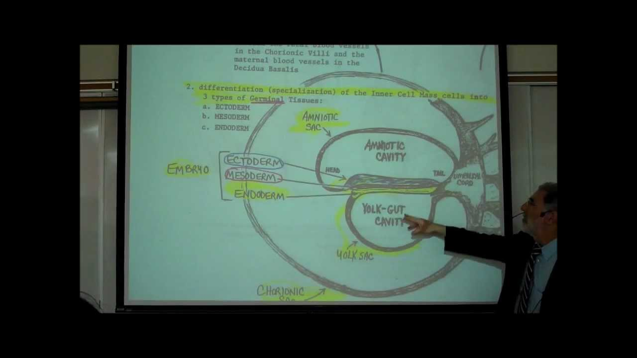 Intro To Human Embryology Part 1 By Professor Fink Youtube