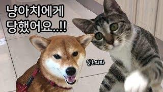 고양이에게 처참하게 당한 강아지 / 냥아치의 시바 조련하기 / 시바견 곰이 탱이 / shibainu