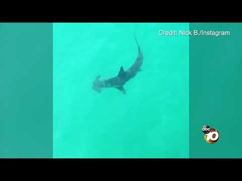 Oceanside hammerhead shark sighting