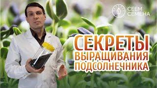 Делюсь секретами выращивания семян подсолнечника | МИКРОЗЕЛЕНЬ СЕЕМ СЕМЕНА