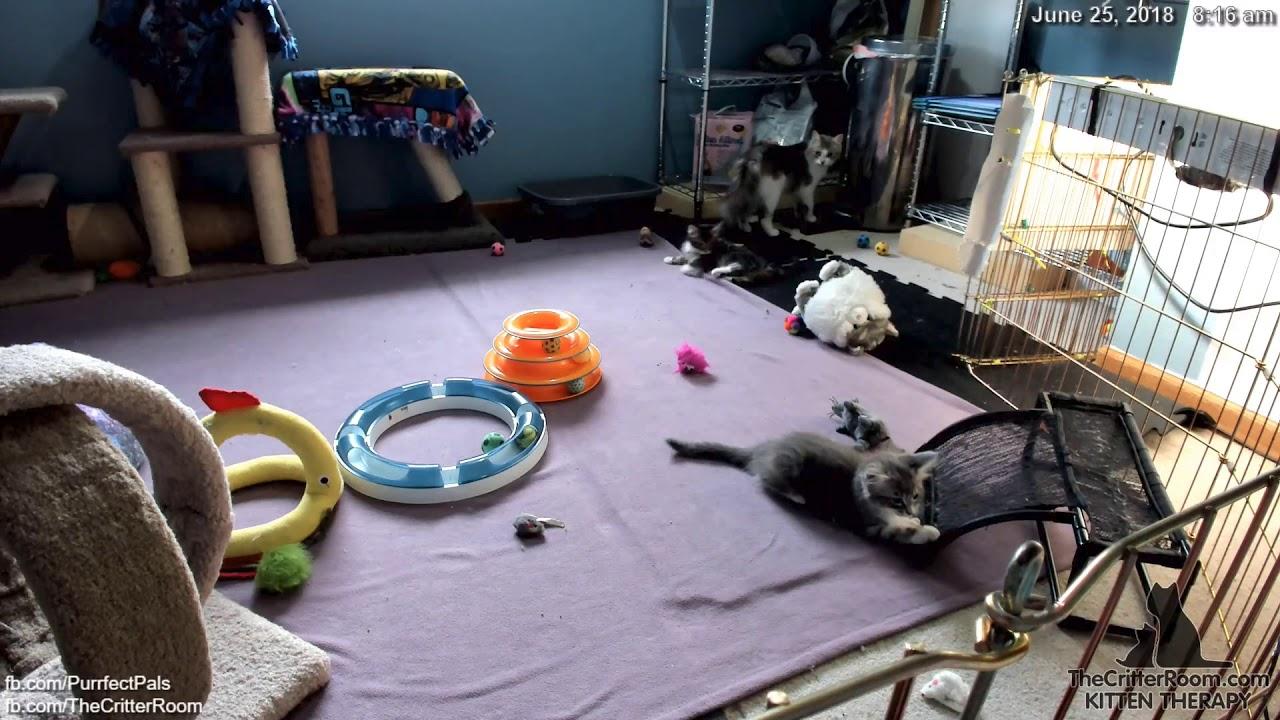 guardian kittens rolling fauxgra again youtube