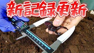 日本最大種のクワガタで予想もしてなかった化け物が現れた…