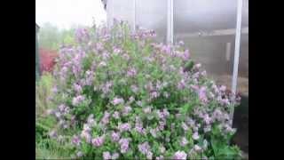 Free Cut Lilac Flowers
