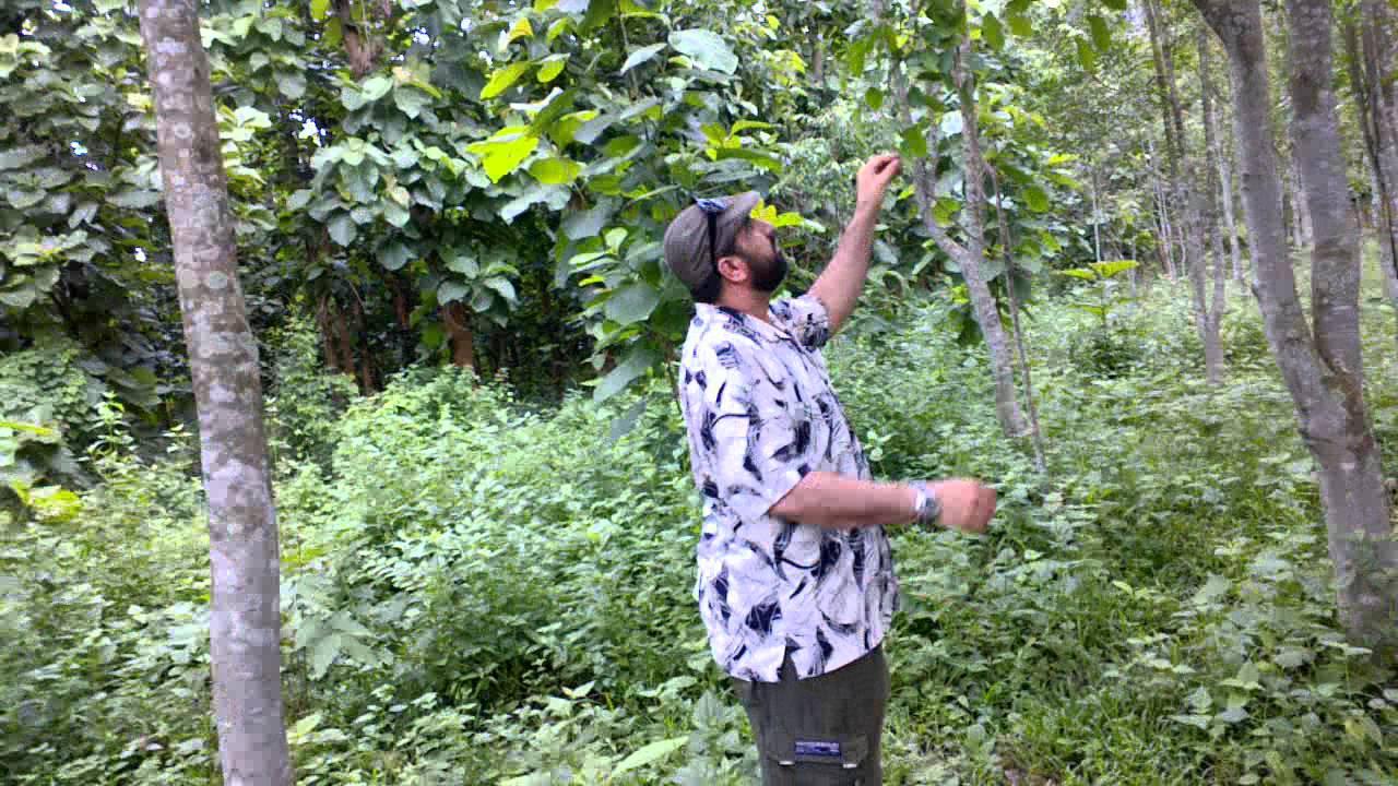 e1583c56e  اشجارالعود في الهند اسام - YouTube