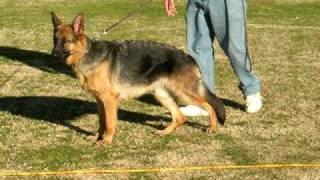 German Shepherd Showline Puppy Ring Training Rona Fountain Blue