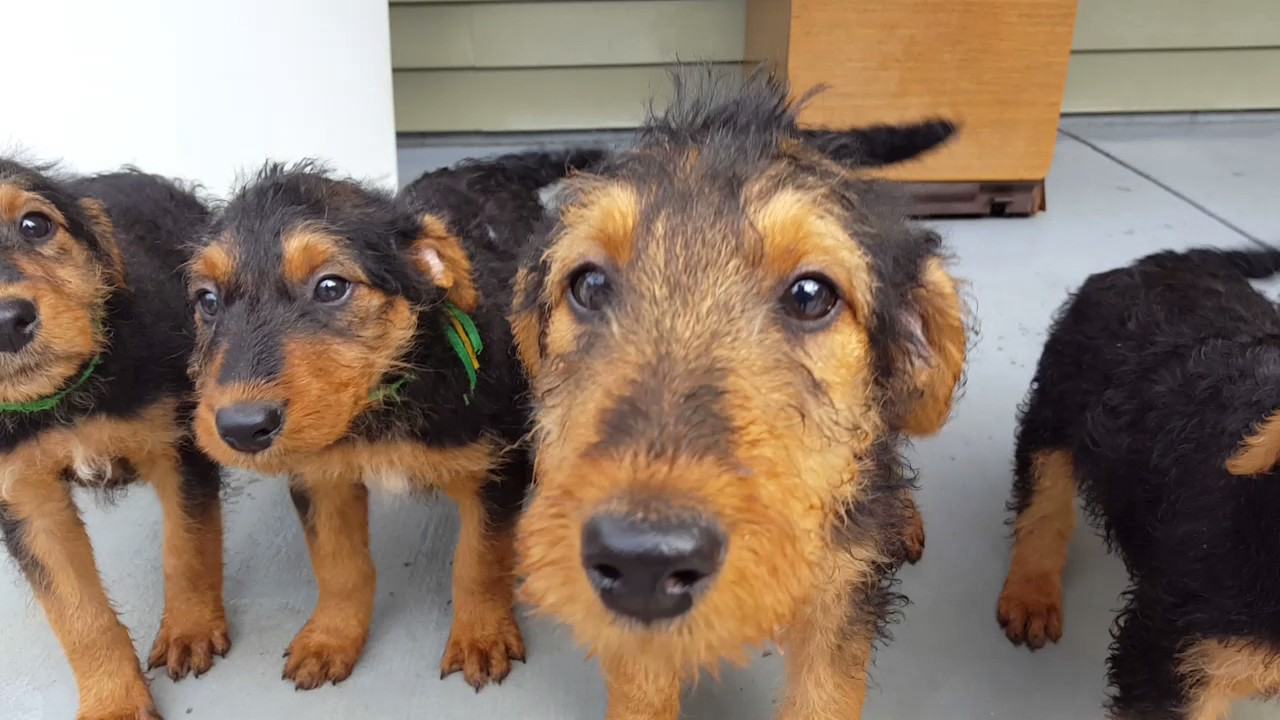 airedale terrier breeders airedale terrier puppies for sale video s s family 3393