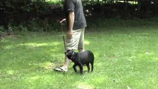 Trained Black Lab Puppy