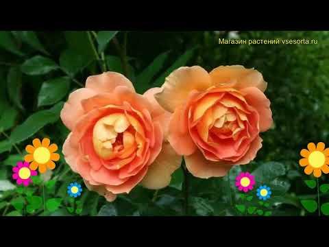 Роза кустовая Пэт Остин. Краткий обзор, описание характеристик, где купить саженцы Pat Austin