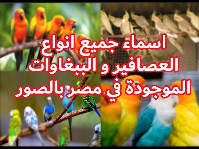اسماء جميع انواع العصافير و الببغاوات الموجوده في مصر Youtube