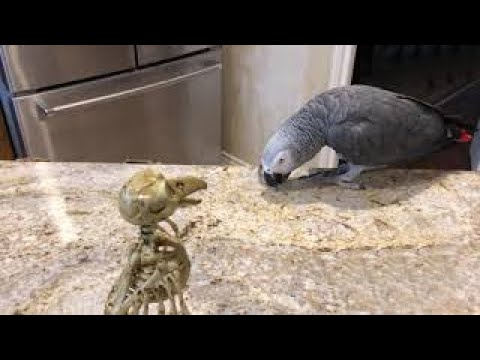 Friendly parrot gives spoon lessons to scary bird
