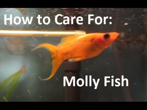 How to care for molly fish youtube for How to take care of a fish