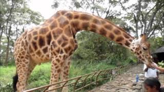 The Giraffe Centre (AFEW) in Langata - Kenya