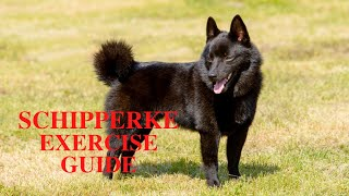 Schipperke Dog Exercise [Needs and Ideas]